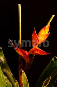 Lobster Claw / Heliconia flower Stock Photo