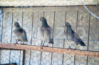 pigeon breeding Stock Photo