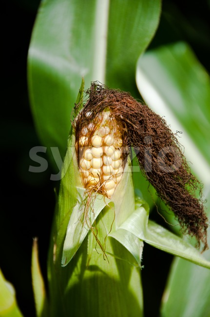 Closeup of ripe corn vegetable still on plant