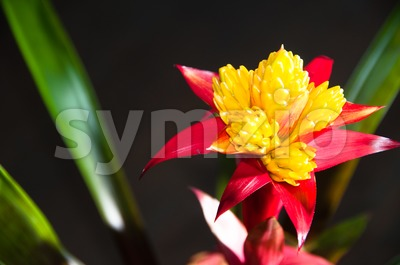 Blossoming Bromeliad Plant Stock Photo