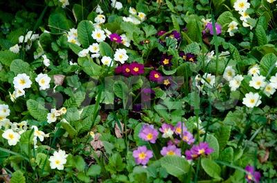 Colored Primula Stock Photo