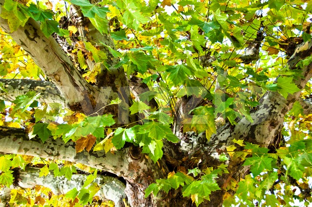 Plane tree in fall Stock Photo