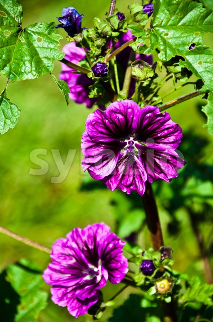 Hollyhock Stock Photo