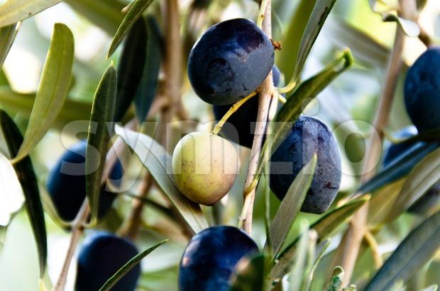 Black Olives On Tree Stock Photo