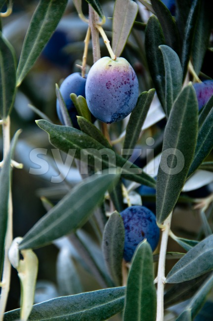Black Olives On Tree Stock Photo