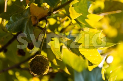 Sycamore fruits and leaves Stock Photo