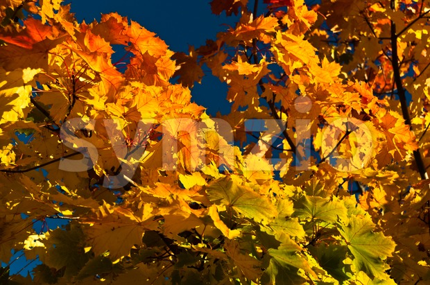 Colorful and vibrant autumn leaves on tree in sunlight