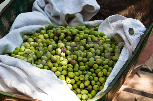 Harvesting of green olives using a wheelbarrow in Fethiye, Turkey