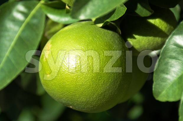Grapefruit on the tree Stock Photo