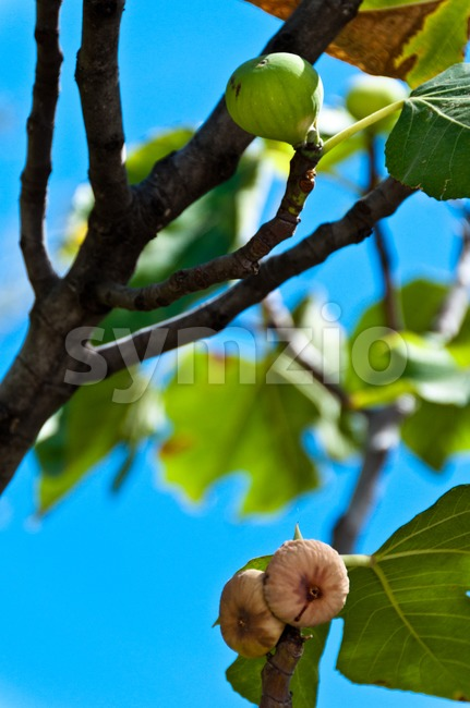 Closeup on fig fruits in various states (still green, already ripe)  hanging on tree