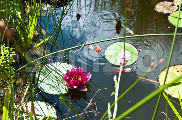 Garden pond with lily flower and Kois Stock Photo