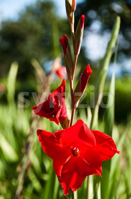 Red gladiolus Stock Photo