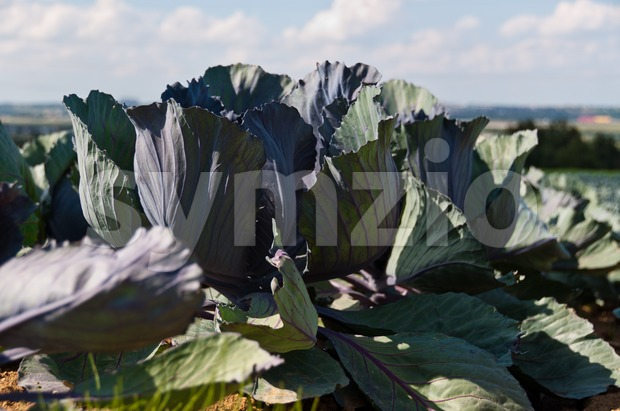 Closeup on red cabbage field in summer with great cloudy sky