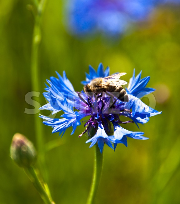 Cornflower with bee Stock Photo