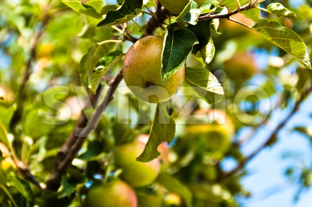 Apples on tree in summer in front of bright sky