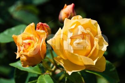 Bright orange roses Stock Photo