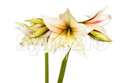 White Amaryllis flower Stock Photo