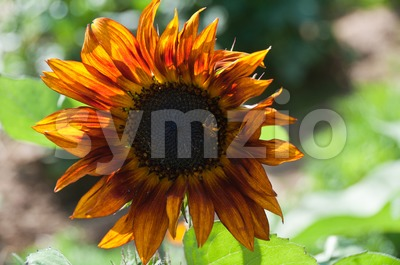 Dark fiery sunflower Stock Photo