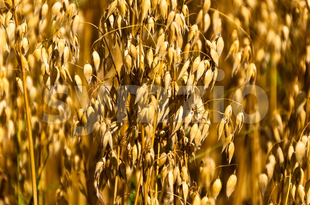 Close-up of oat plants in field shot from the front