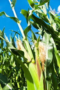 Growing Corn Stock Photo