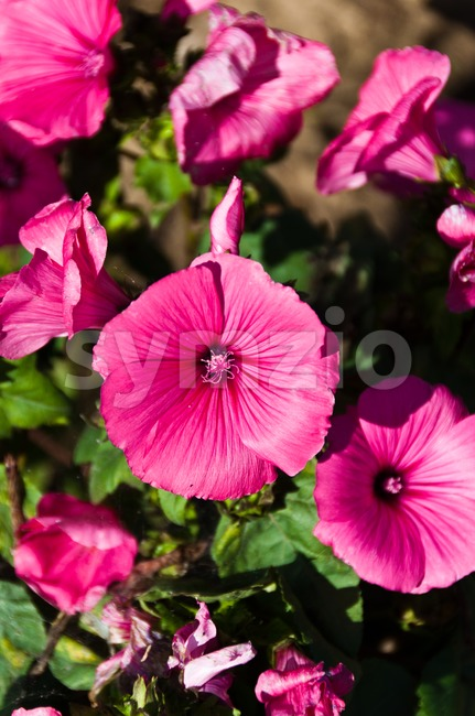 Rose mallow flowers Stock Photo
