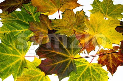 autumn maple leaves Stock Photo