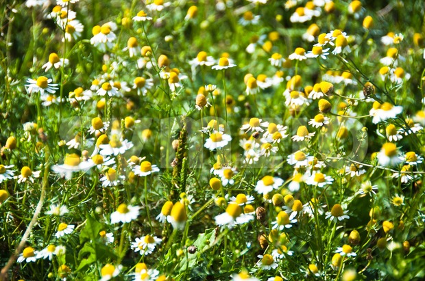 Close-up of large daisy flower field in bright sunlight