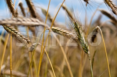 Cornfield Stock Photo