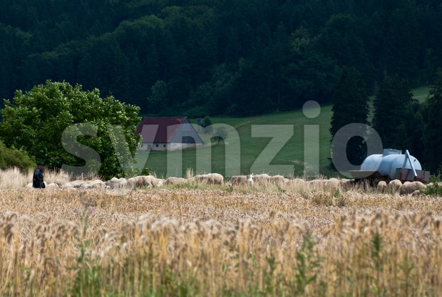 Flock of sheep grazing behind cornfield with shepherd and farm building in the background