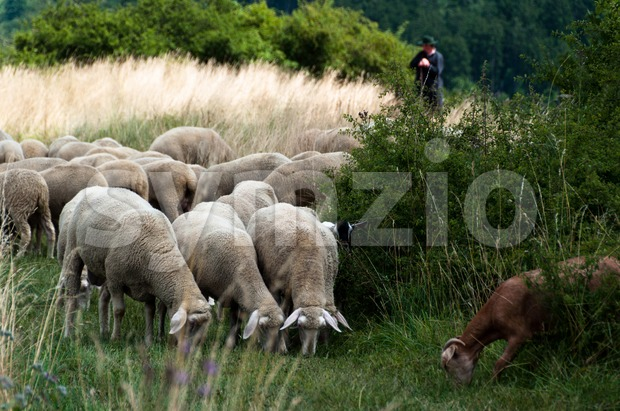 Flock of sheep and goats with shepherd and dogs Stock Photo