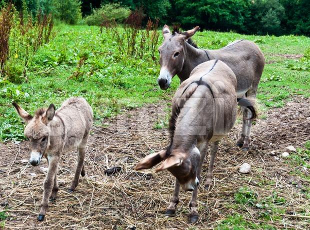 Donkey Family Stock Photo
