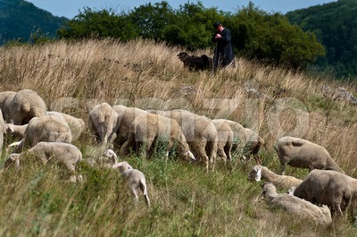 Flock of sheep with shepherd and dogs Stock Photo