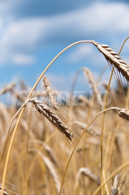 Closeup of cornfield - single crop heads in front of larger field