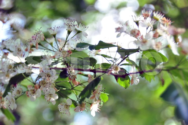 Blackthorn blossoms with leaves in spring sun