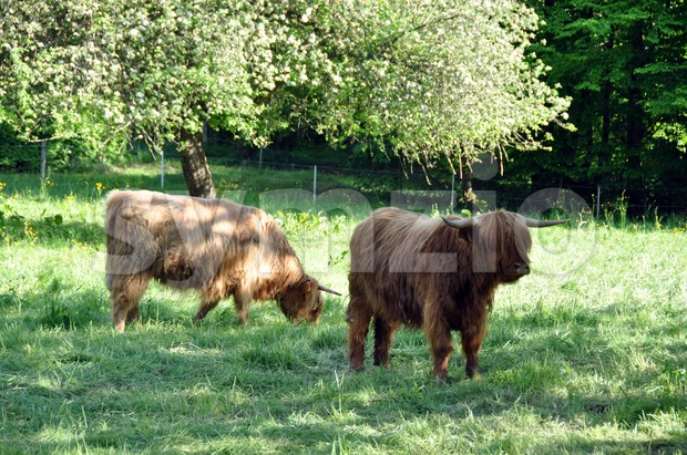 Highland cows 1 Stock Photo