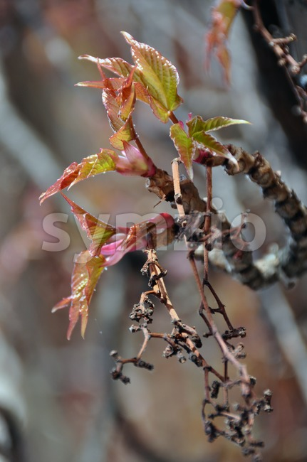 Virginia creeper blossoming in spring Stock Photo