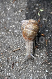 Grapewine snail on pavement Stock Photo