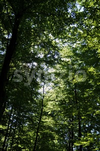 Spring beech forest 1 Stock Photo