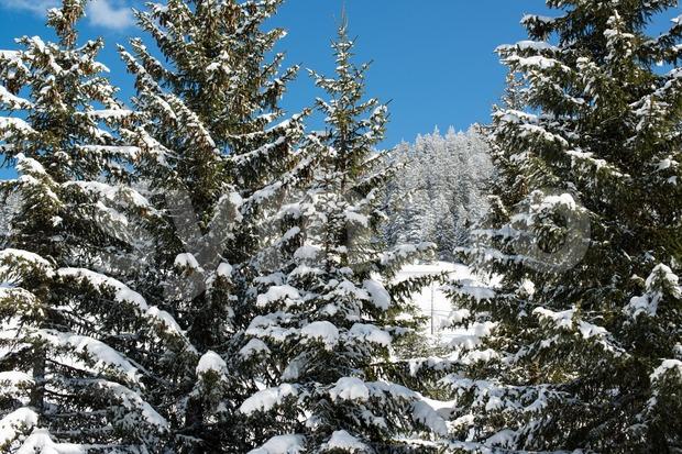 Winter pine Stock Photo