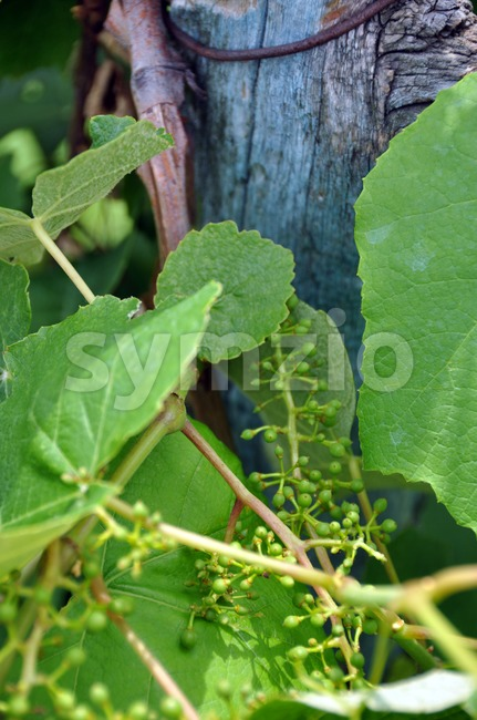 Closeup of wine grapes in flower and small grapes in early summer..