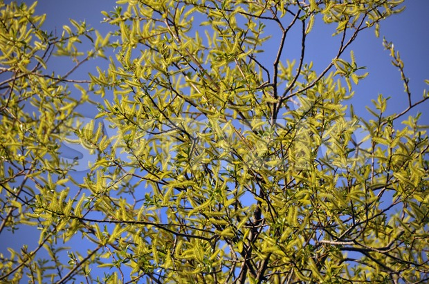 Closeup of branches with blossoming yellow willow..