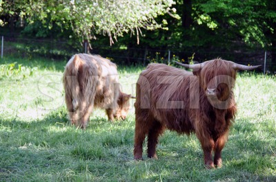 Highland cows 3 Stock Photo