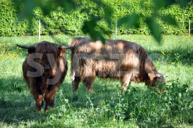 Highland cows 2 Stock Photo
