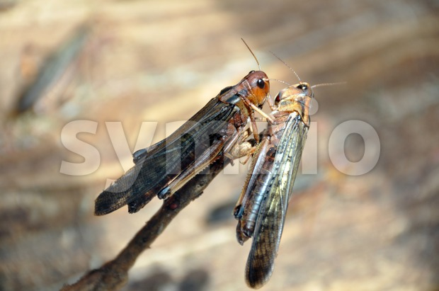 Grasshoppers mating Stock Photo