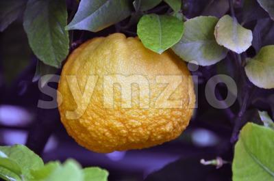 Orange Tree 2 Stock Photo