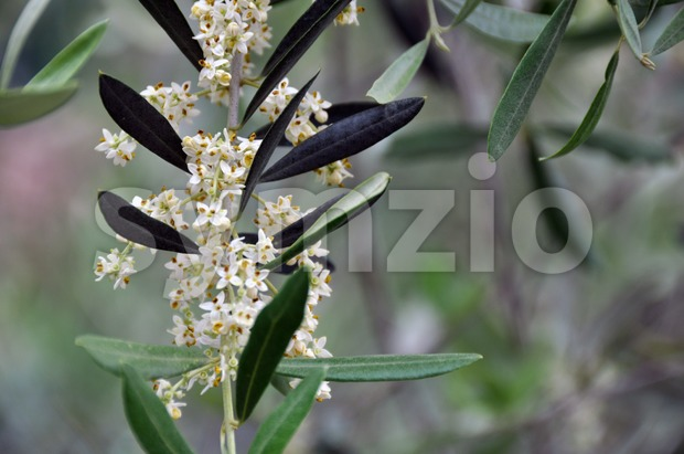 Closeup of a blossoming olive tree in early summer in Tuscany, Italy