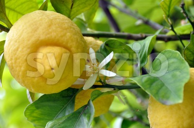 Lemon Fruits and Blossom 1 Stock Photo