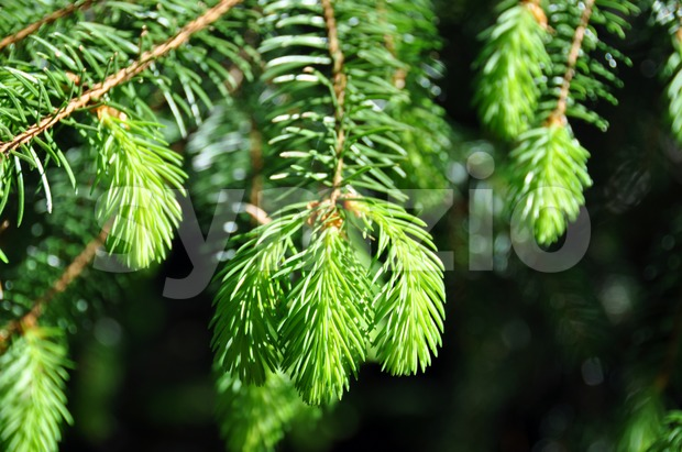 Fresh fir twig Stock Photo