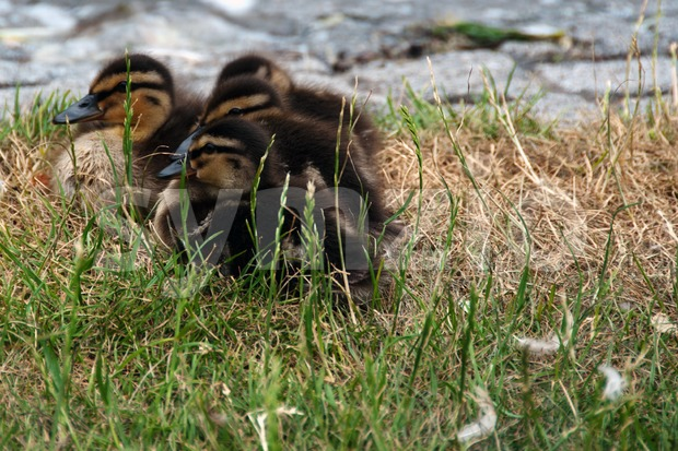 Ducklings Stock Photo