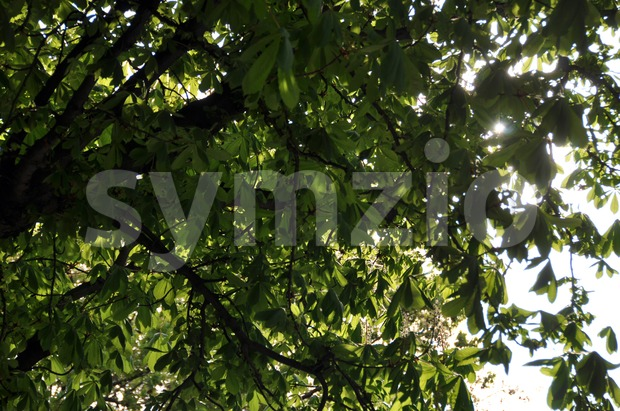 Chestnut tree in sunlight Stock Photo